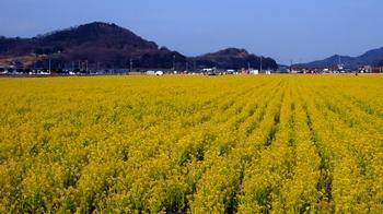 笠岡ベイファーム菜の花畑3.jpg