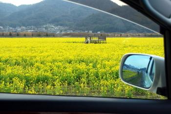 笠岡菜の花畑1.JPG